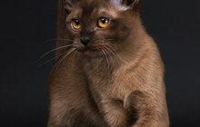 Продам котиков Европейской Бурмы