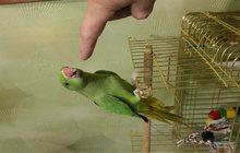 продам ожерелового попугая