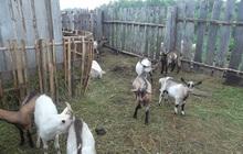 Козы и козлы продам