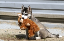 Замечательные малышки Сибирского Хаски