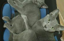 Продам русскую голубую котодевочку 4 месяца