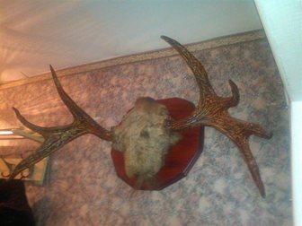 Просмотреть фото Охота Продам рога лося 32644816 в Новосибирске