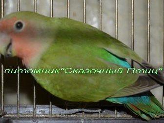 Скачать бесплатно foto Птички Продам розовощекого неразлучника, 32829294 в Новосибирске