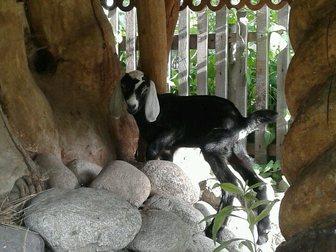 Новое изображение Другие животные нубийский козленок 33098428 в Новосибирске