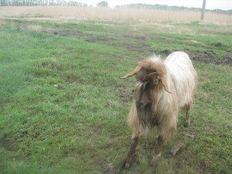 Смотреть фото Другие животные продам козла 33266164 в Новосибирске