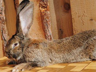 Скачать foto  Кролики великаны 34386356 в Новосибирске