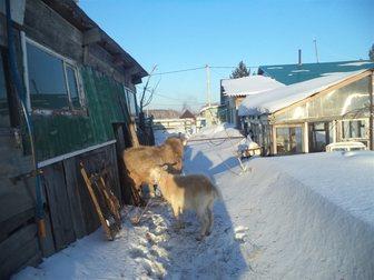 Увидеть foto Другие животные продам козла возрост 4 года 34730739 в Новосибирске