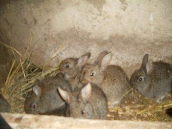 Скачать foto Грызуны продам кроликов 34852807 в Новосибирске