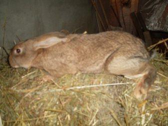 Просмотреть foto Грызуны продам кроликов 34852807 в Новосибирске