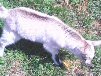 Скачать фото Другие животные Продам козочек и козликов альпийской и зааненской пород 35891970 в Новосибирске