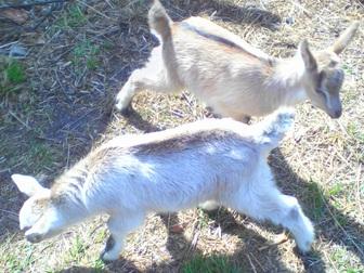 Уникальное фото Другие животные Продам козочек и козликов альпийской и зааненской пород 35891970 в Новосибирске