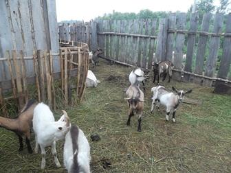 Скачать бесплатно фотографию Другие животные Козы и козлы продам 36883797 в Новосибирске