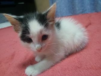 Скачать foto Отдам даром - приму в дар Отдадим котёнка: Милый, добрый, красивый, и умный котёнок ждёт своих хозяев, 39859469 в Новосибирске