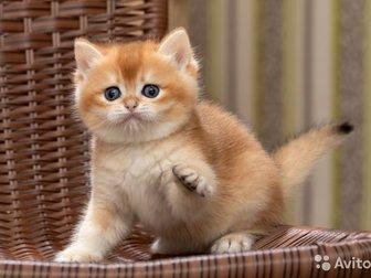 Котята британской золотой шиншиллы, три мальчика и одна девочка предлагаются в качестве домашних любимцев,  Котята  приучены к лотку,  Подробная информация по телефону, в Новосибирске