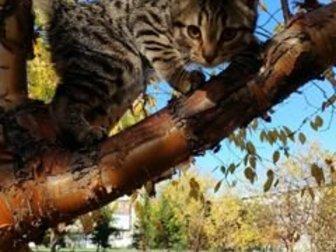Не сдружились со старшим котом, ,  Очень игривый,  к лотку приучен,  кушает как и сухой корм,так и домашнюю еду,  3 месяца в Новосибирске