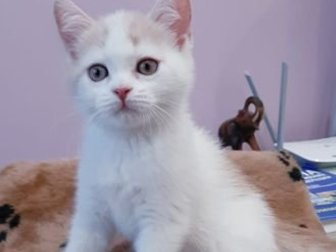 В домашние любимцы предлагается породный котик скоттиш-страйт с редким окрасом - кремовый арлекин, Котику 2 мес,  приучен к лотку и когтеточке,  Ест сухой корм ProPlan в Новосибирске