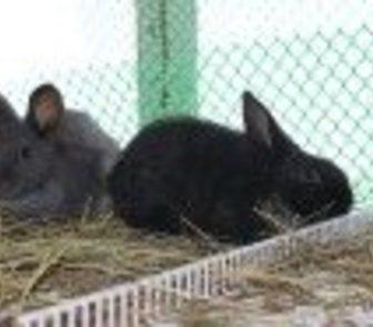 Фото в   Продам кроликов Сибирский-серебристый порода в Новосибирске 1000