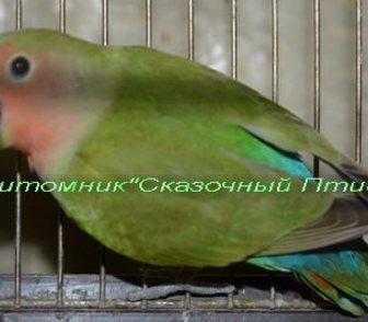 Фото в Домашние животные Птички Продам розовощекого неразлучника, окрас ярко в Новосибирске 1000