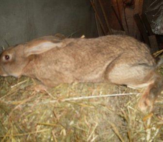 Фотография в Домашние животные Грызуны продам кроликов разных возрастов и разных в Новосибирске 400