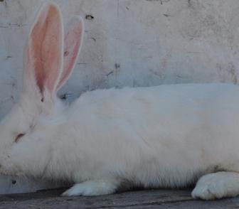 Фотография в   Продам кроликов великанов бельгийский фландр в Новосибирске 1000