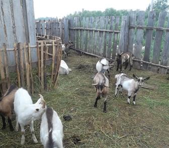 Изображение в Домашние животные Другие животные Продам молодых козочек и козлят, рождены в Новосибирске 4000