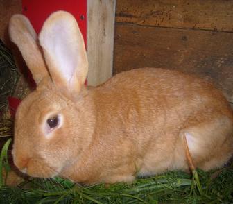 Фото в Домашние животные Грызуны Продам кроликов мясной броллерной породы в Новосибирске 1000