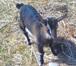 Изображение в Домашние животные Другие животные Предлагаем к продаже отличных козочек альпийской в Новосибирске 7000