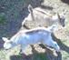 Foto в Домашние животные Другие животные Предлагаем к продаже отличных козочек альпийской в Новосибирске 7000