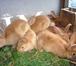 Фотография в Домашние животные Грызуны Продам кроликов мясной броллерной породы в Новосибирске 1000