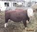 Фотография в   Продам баранов курдючные.   Продаю быков в Новосибирске 0