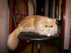 Уникальное фотографию Вязка Ищем персидского кота экстремального типа 39088054 в Одессе