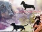 Фото в Собаки и щенки Вязка собак Предлагается для племенного использования в Одинцово 0