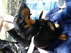 Увидеть foto Вязка собак Ищем невесту таксы, 39480049 в Краснодаре