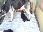 Изображение в Собаки и щенки Продажа собак, щенков рождение 05. 04. 2015 г. 4 мальчика, едят в Омске 4500