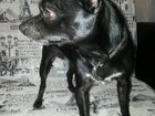 Изображение в Собаки и щенки Вязка собак Очень красивый брюнет, страстный любовник в Омске 0