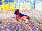 Скачать изображение Вязка собак Кобель с родословной, Развязан, 33275952 в Омске