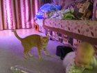Изображение в Кошки и котята Вязка расмотрю все варианты, очень срочно. Кошка в Омске 0