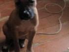 Фотография в Собаки и щенки Продажа собак, щенков Продаются щенки амстаффа. Родители спортсмены в Омске 5000