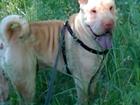 Скачать бесплатно foto Вязка собак Шарпей вязка омск кобель жених 39429603 в Омске