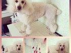 Уникальное foto Вязка собак Пудель Линда ищет кобеля для вязки 39686220 в Омске