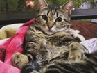 Новое изображение Вязка кошек Кот 1,5 года ищет кошечку для вязки 60787182 в Омске