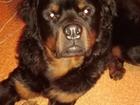 Уникальное foto Вязка собак Молодой парень ищет для вязки девушку, 68137063 в Омске