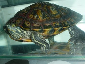 Скачать бесплатно фото Отдам даром - приму в дар отдам даром красноухую черепаху 35825141 в Омске