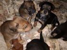 Изображение в Собаки и щенки Продажа собак, щенков Щенки родились 16 октября, уже кушают мяско, в Орехово-Зуево 100