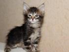 Фото в Кошки и котята Продажа кошек и котят Продам котят Мейн-кун для души вашим любимым. в Орехово-Зуево 7000