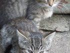 Изображение в   Котята в дар. Серенькие, ласковые малыши в Орле 0