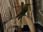 Изображение в Домашние животные Птички Срочно продам 2 попугая волнистых + клетка в Орле 2100