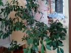 Изображение в Домашние животные Растения фикус, высота около 1-го метра в Орле 350