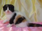 Изображение в Кошки и котята Продажа кошек и котят Шотландские вислоухие кошечки - Джессика, в Орле 7000
