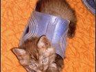 Фото в Кошки и котята Продажа кошек и котят Продаются котята дымчатый черный (два мальчика, в Оренбурге 3500
